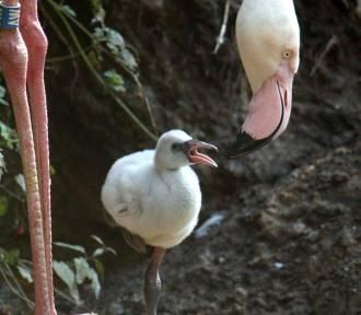 W gdańskim ZOO na świat przyszło pisklę flaminga