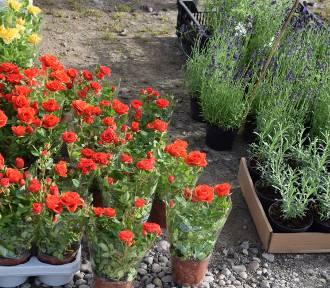 Duży wybór kwiatów, sadzonek i krzewów na giełdzie samochodowej [FOTO]