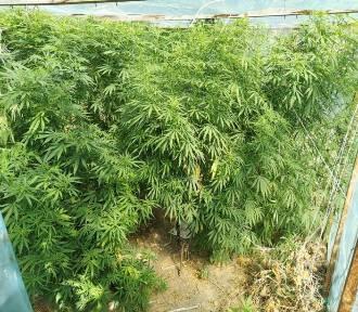 """Konopie indyjskie znalezione w ogródku. Policja informuje o """"plantacji"""""""