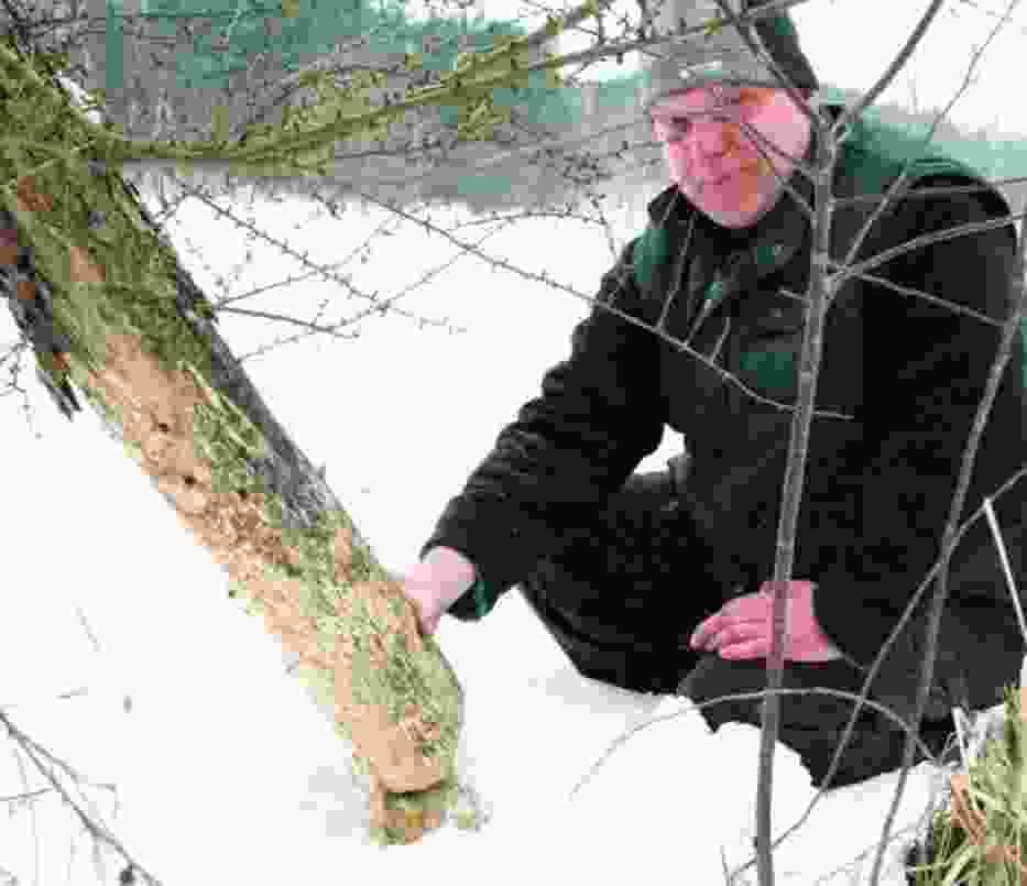 Lech Staręga podkreśla, że bobry ścinają drzewa nawet 500 metrów od wód