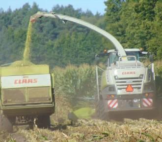 W powiecie chodzieskim trwają kukurydziane żniwa.