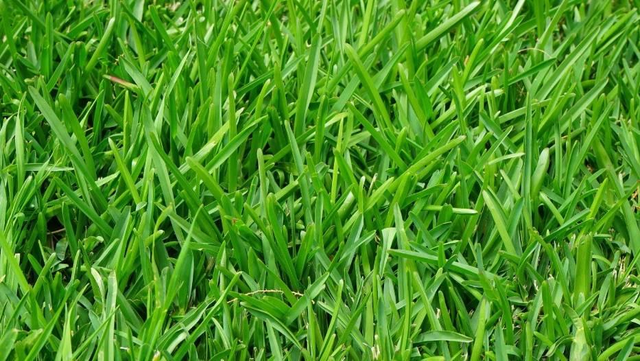 Przesuszona skoszona trawa