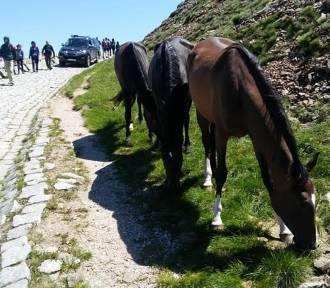 Trzy konie na szczycie Śnieżki! Uciekły z hodowli i poszły w góry...[ZDJĘCIA]