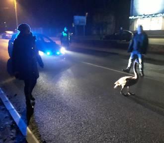 Zabłąkany ŁABĘDŹ w eskorcie policji na drodze wojewódzkiej 716 w Moszczenicy [ZDJĘCIA, FILMIKI]