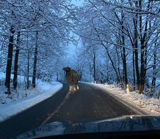 Wielbłąd na środku zaśnieżonej drogi! Spacerował po Górach Izerskich [ZDJĘCIA]