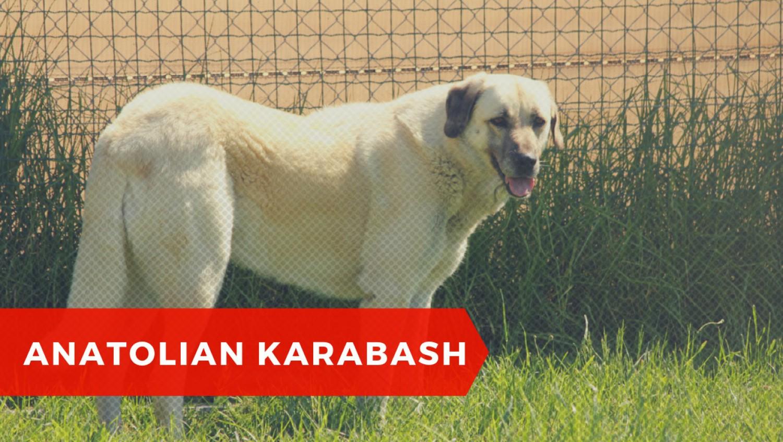 Anatolian Karabash - owczarek anatolijski