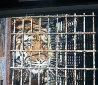 Gdańskie zoo pomaga tygrysom uratowanym z transportu