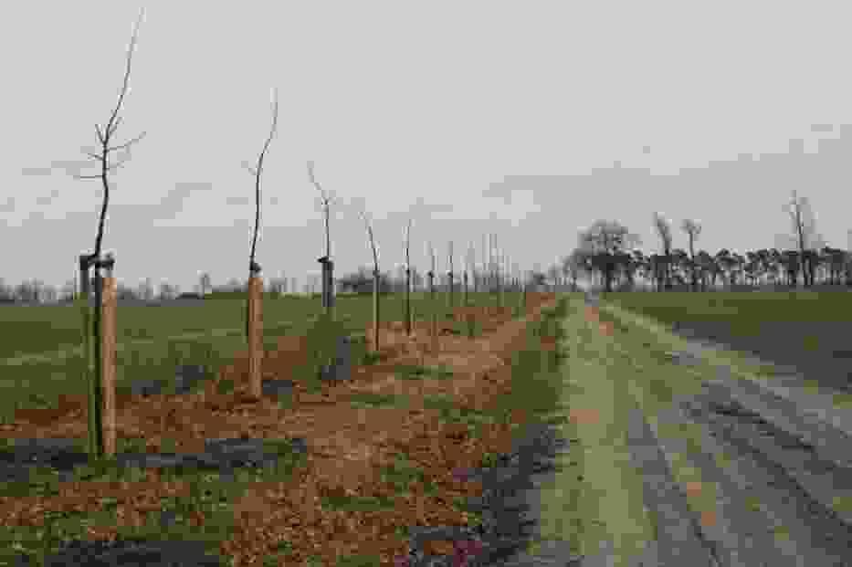 Nasadzenia drzew na obszarach śródpolnych