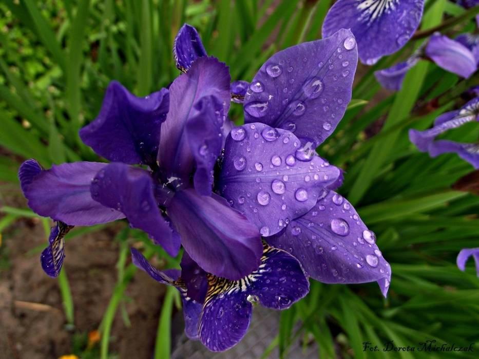 Irys w majowym deszczu