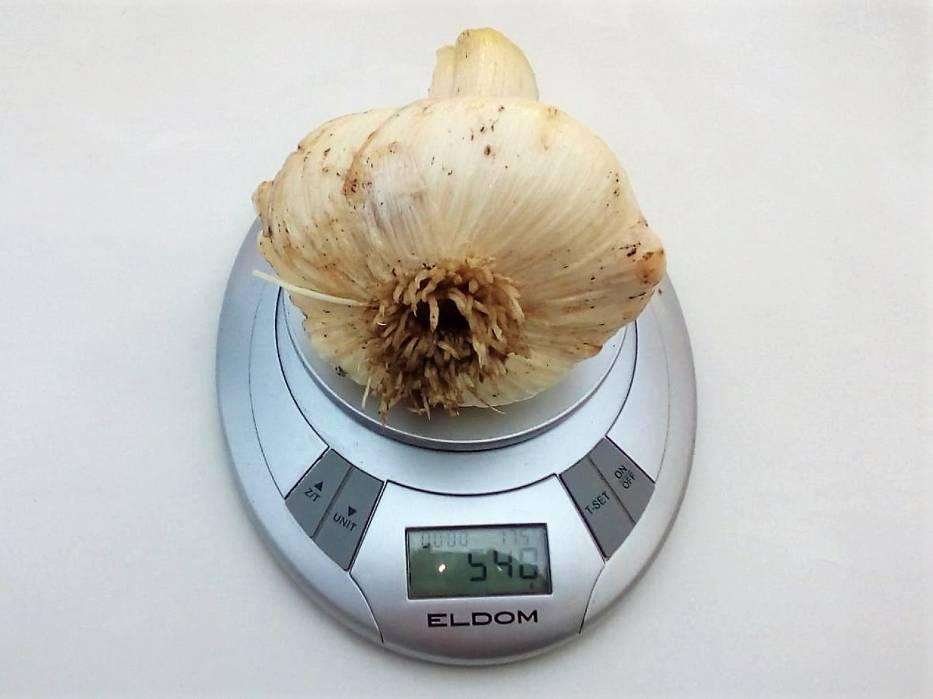 Największy czosnek ma 540 gram.