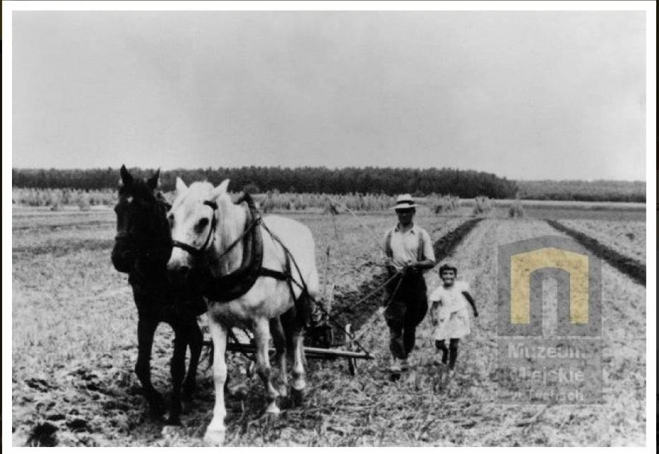 Oranie pola w Wygorzelu (Tychy), 1936; Fot