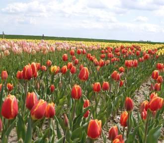 Morze tulipanów w Polance Wielkiej. Jak w Holandii!