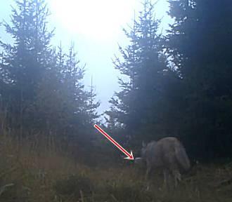 Wilk z Wałbrzycha sprząta śmieci w lesie... To nie żart [ZDJĘCIA, FILM]