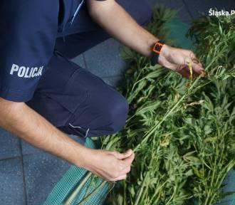 Pszczyna: Pół roku prac społecznych za uprawę marihuany