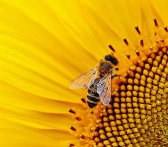 Pół miliona na ochronę małopolskich pszczół