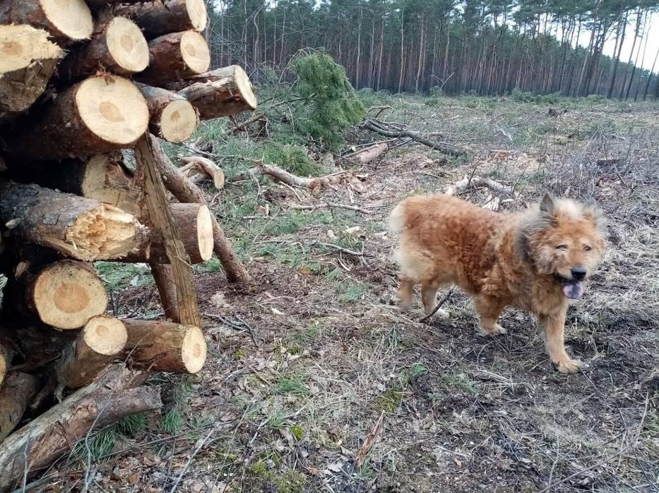 Wycinka w Lesie Gdańskim