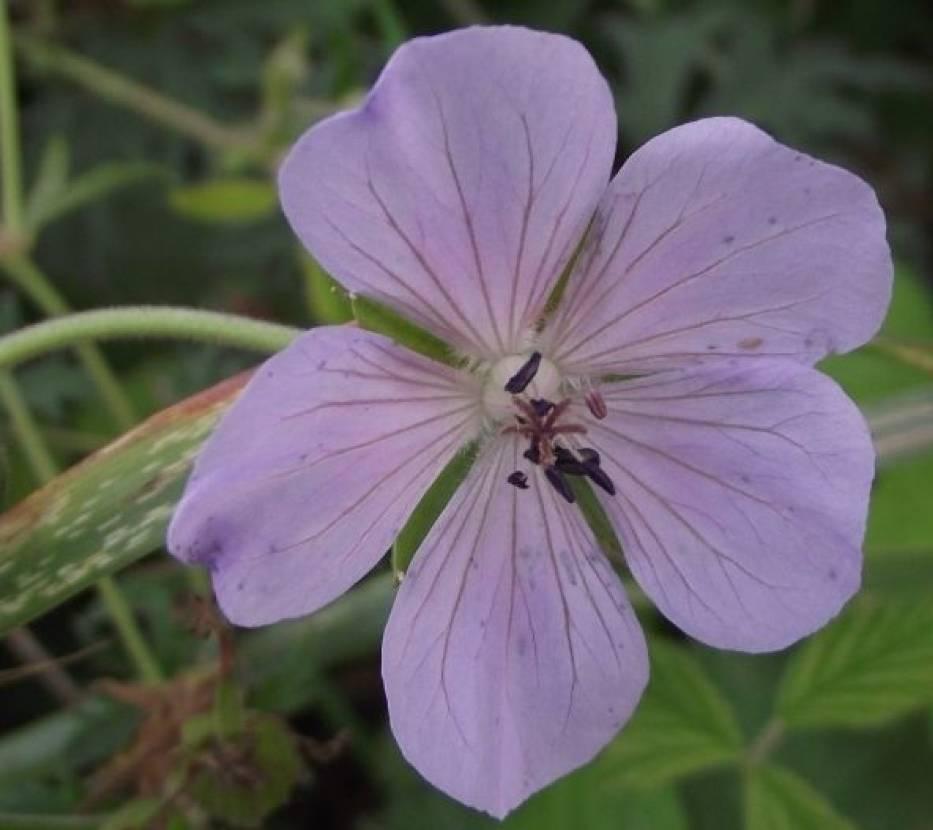 Bodziszek łąkowy roślina wieloletnia o wysokości do 80 cm, kwitnie od czerwca do października