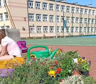 Jest już kwietny ogród  dla pszczół i owadów zapylających przy SP nr 11 w Chełmie