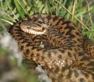 Uwaga na żmije! Jest ciepło, węże pojawiły się na terenach zielonych i w lasach