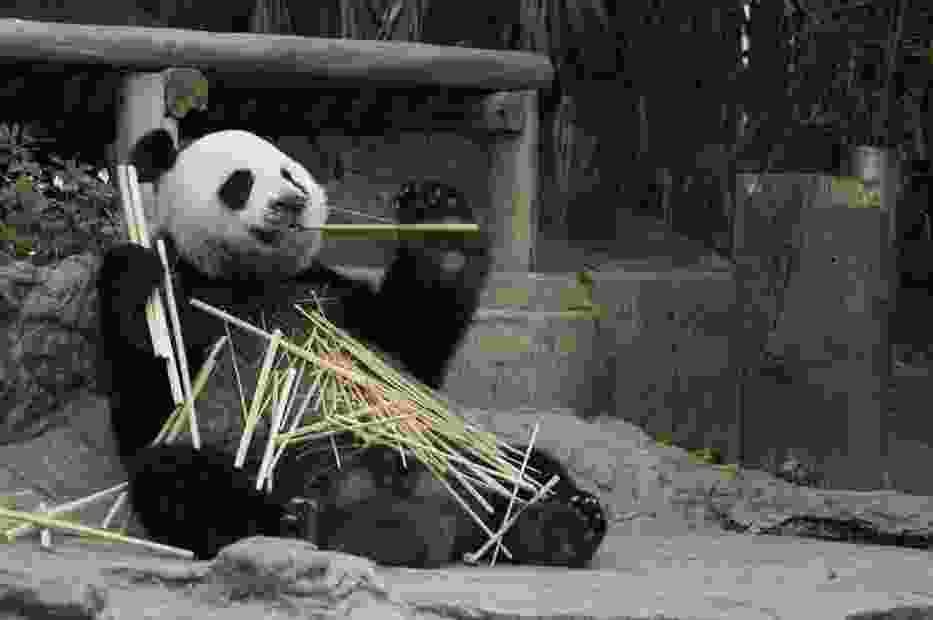 Pandy wielkie w Zamościu?