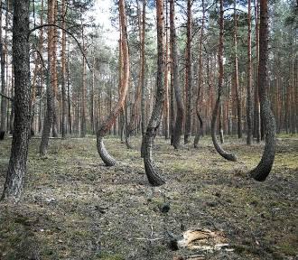 Tańczące sosny na Dolnym Śląsku. Wiedziałeś, że mamy taki niezwykły las? [ZDJĘCIA]