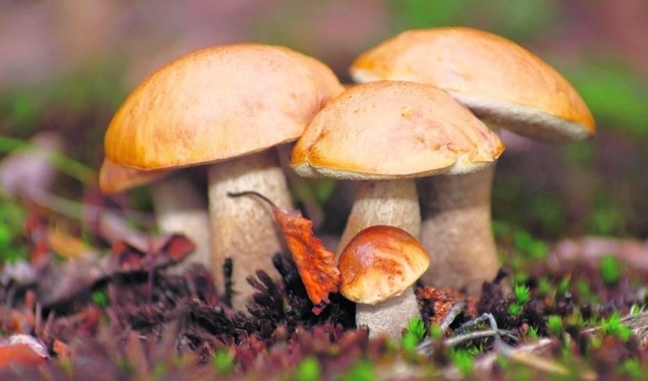 Zbieramy tylko te grzyby, które dobrze znamy