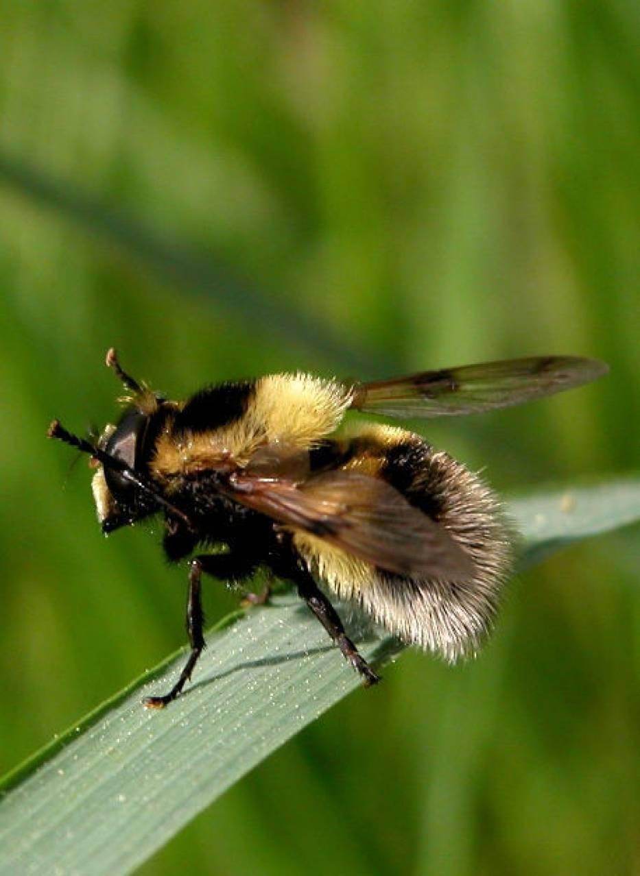 Trzmielówka łąkowa (Vollucela bombylans)