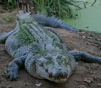 Szukają krokodyla w Jeziorze Kunickim na Dolnym Śląsku!