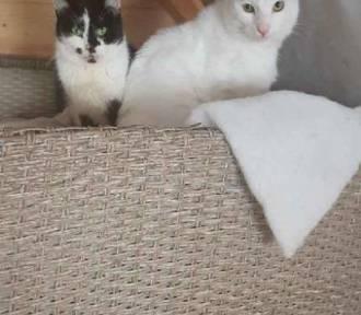 Trzy zadbane kotki z Matejki w Sycowie poszukują nowego domu