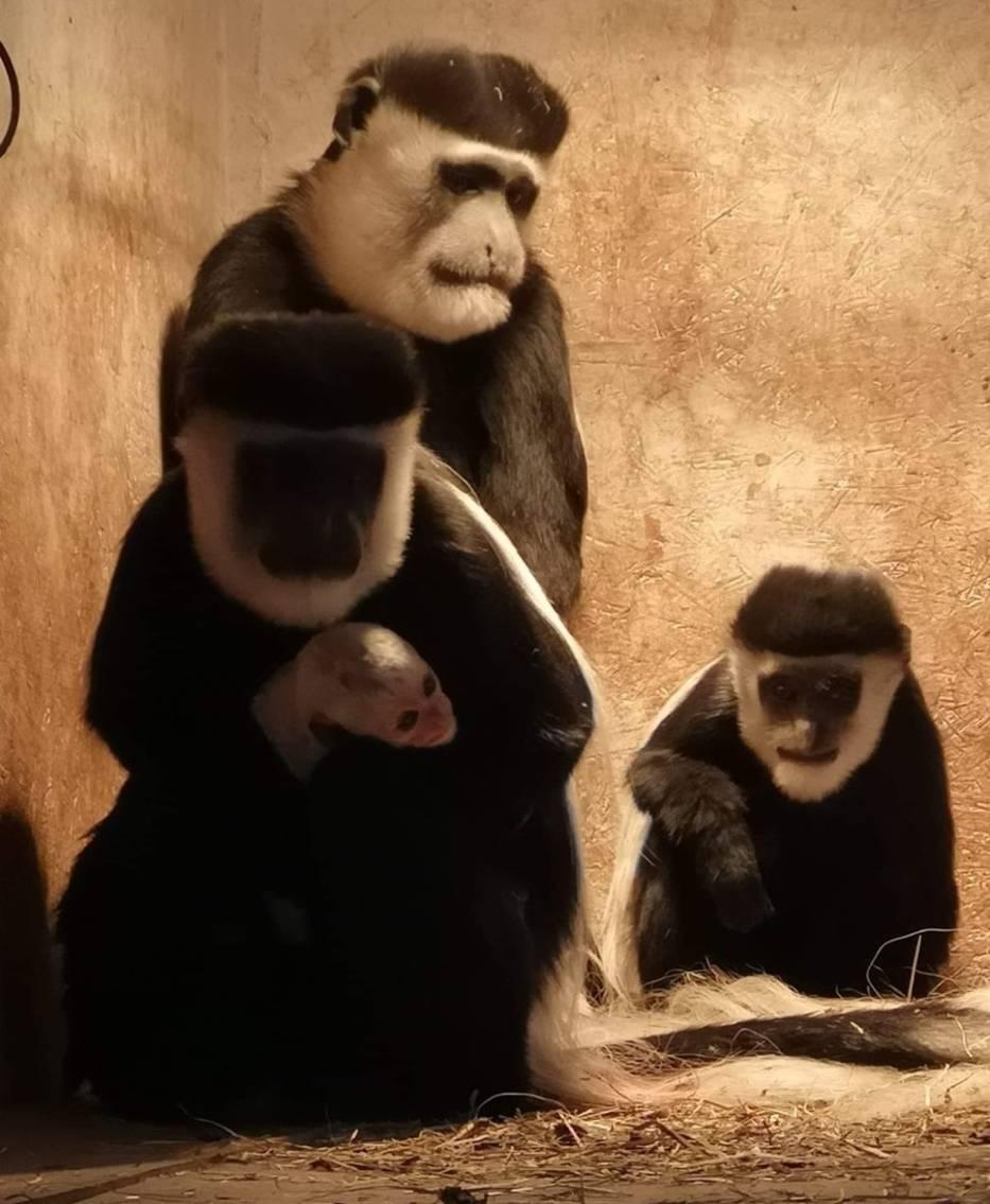 Mini zoo będzie otwarte od kwietnia i wtedy będzie można zobaczyć nowo narodzoną małpkę