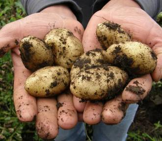 Uważajcie na ziemniaki z Egiptu! Jest w nich groźna bakteria...