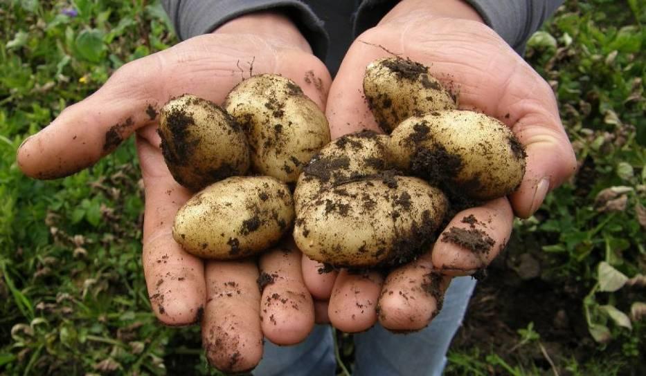 Ziemniaki z Egiptu