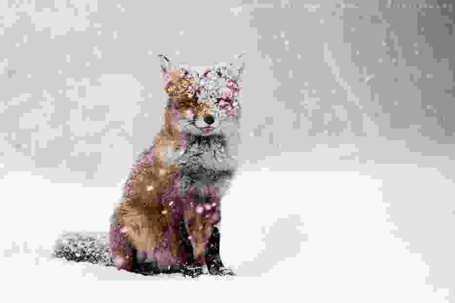 Lisy szaleją na śniegu. Zobaczcie niezwykłe zdjęcia Roeselien Raimond
