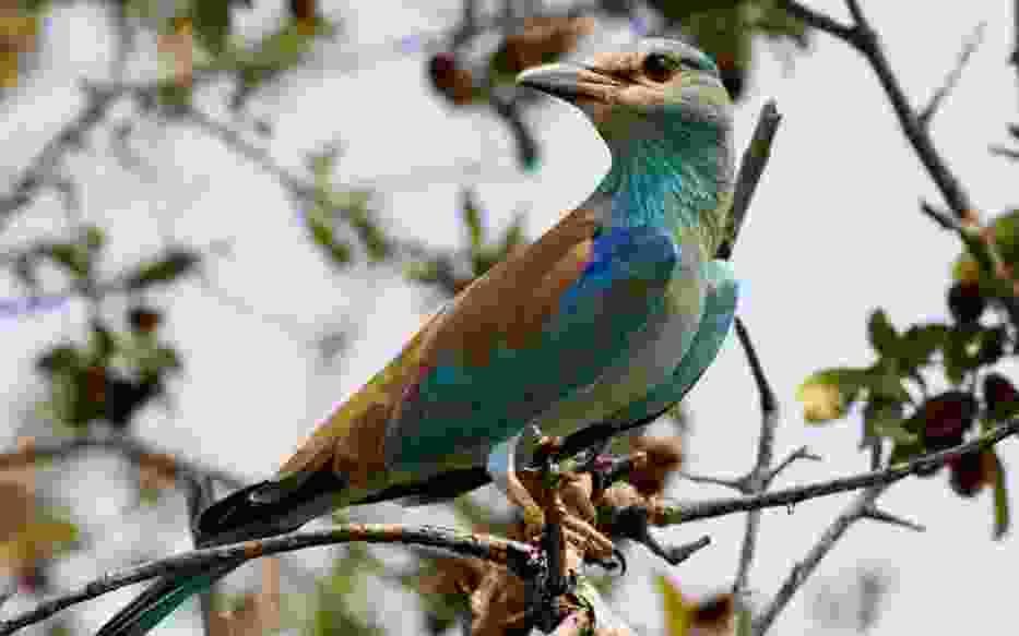 Kraska (Coracias garrulus) -Kruger National Park, South Africa /  źródło - http://pl