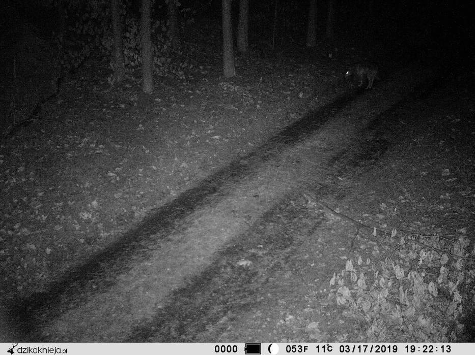 Wilki pojawiły się w lasach Nadleśnictwa Poddębice