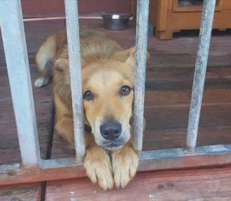 Psy do adopcji w Gorzowie. Może przygarniesz któregoś z nich