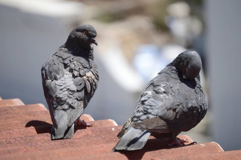 """Przeciwnicy gołębi nieraz nazywają je """"latającymi szczurami"""", warto jednak pamiętać, że ptaki te są pod ochroną"""