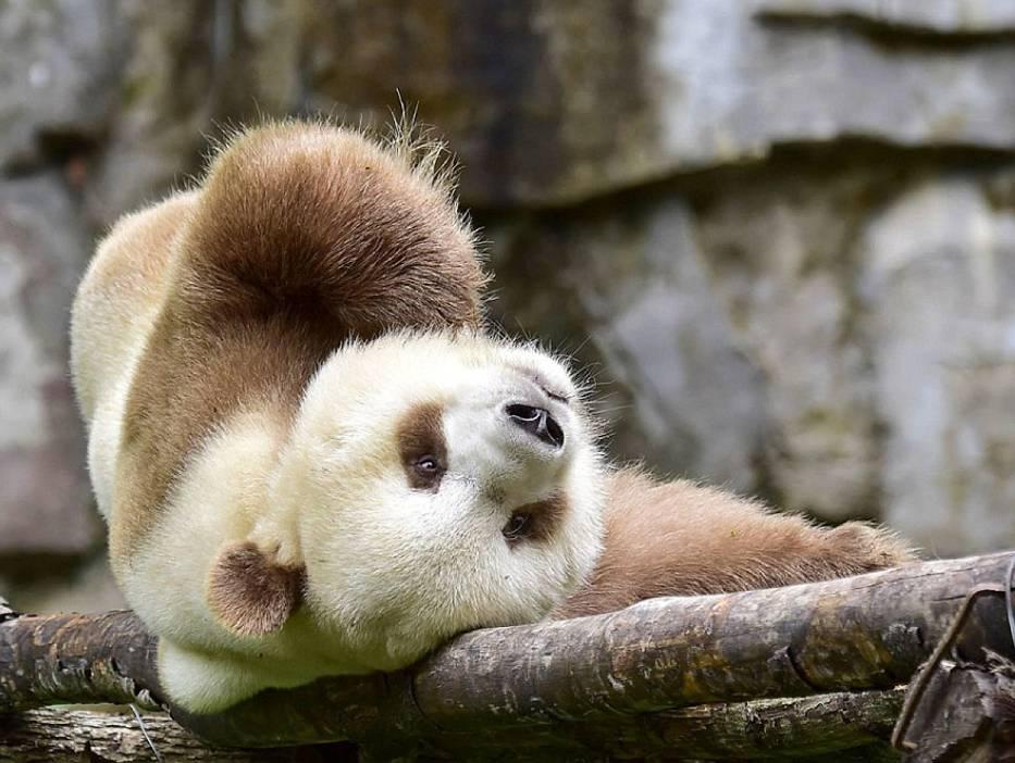 Gdy Qizai miał 2 miesiące, porzuciła go matka, bo był słabszy niż inne pandy
