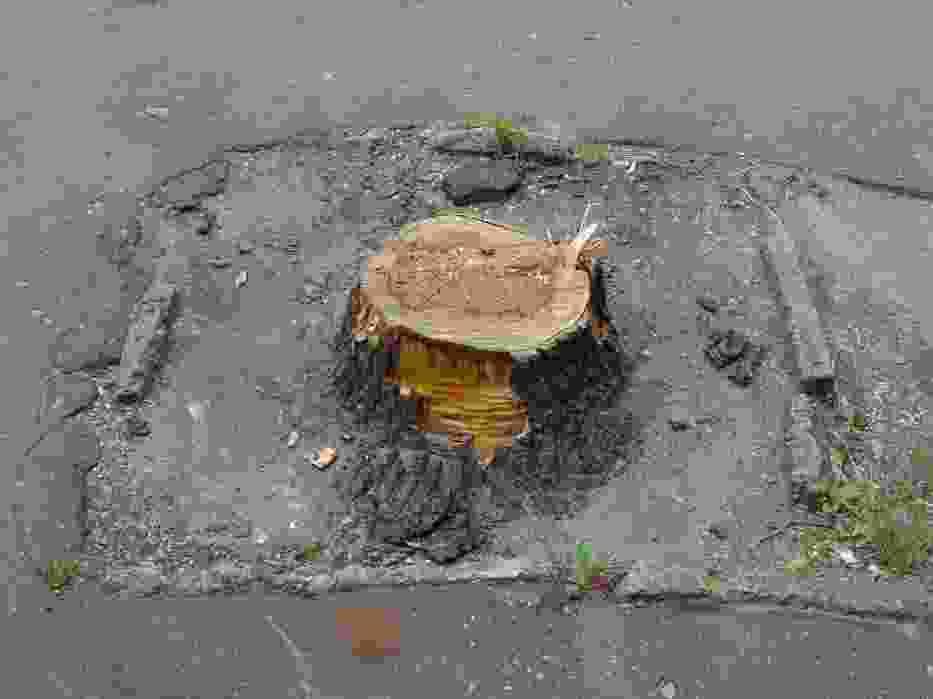 Zdjęcie jednego z drzew wyciętych na ulicy Pułaskiego w Siedlcach