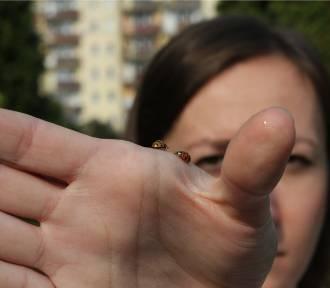 Inwazja biedronek azjatyckich. Wytwarzają alergeny, które mogą uczulać