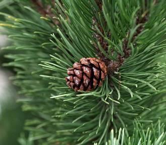 Gdzie kupić choinkę w Warszawie? W tych miejscach nabędziesz świąteczne drzewko