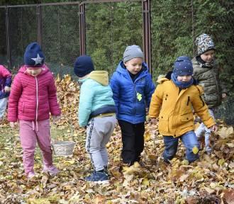 Dzieci z przedszkola nr 1 w Skierniewicach zbierają kasztany dla Franka