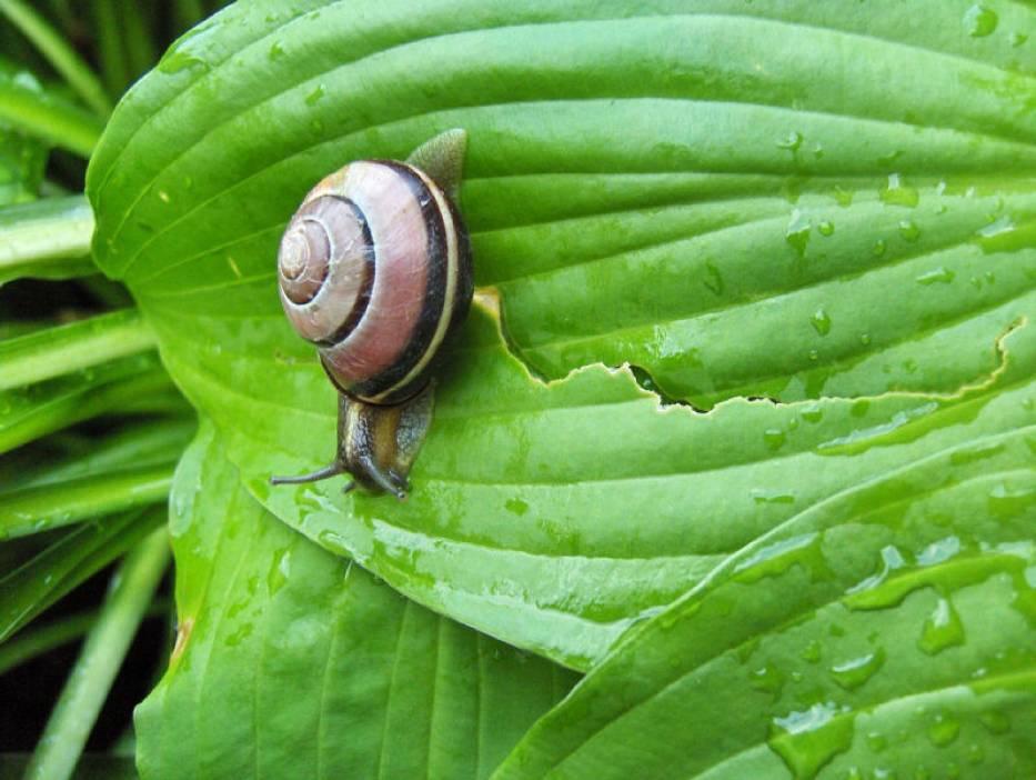 Ten lądowy ślimak to wstężyk gajowy - jeden z najbardziej pospolitych gatunków