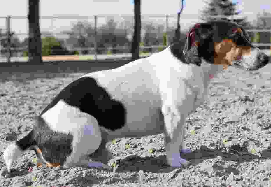 Zaginął pies: Jack russell terrier z okolic Gostynia