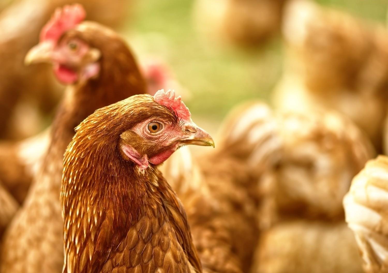 Ptasia grypa w Kujawsko-Pomorskiem: zakazy i nakazy