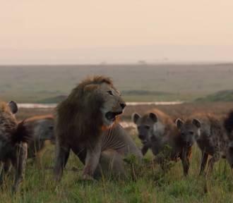 Lew zaatakowany przez stado hien [wideo]
