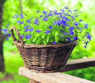Szamocin: Kto ma najładniejszy ogród?