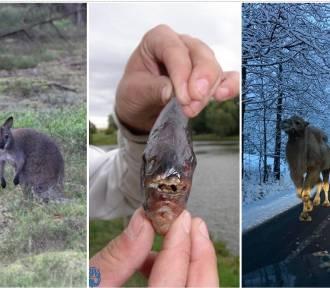 Egzotyczny Dolny Śląsk. Małpa na dachu szkoły, wielbłąd na ulicy i aligator w lesie..