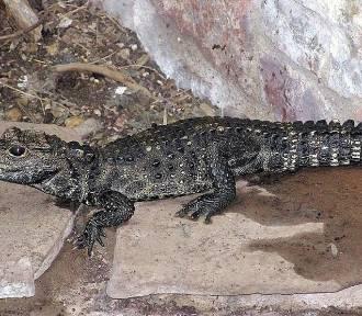 Policjanci odnaleźli Mireczka. Gdzie był młody krokodyl?