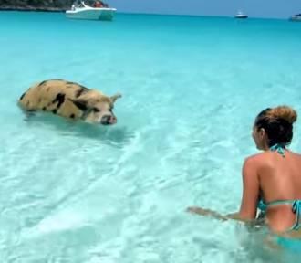 Zobacz 10 ciekawostek o świniach
